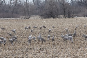 Cranes eating in corn fields.