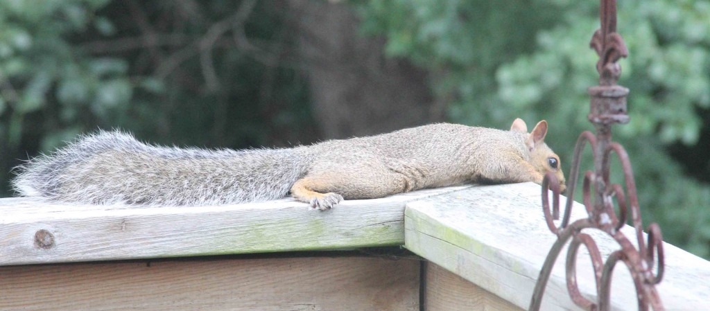 World's Most Relaxed Squirrel