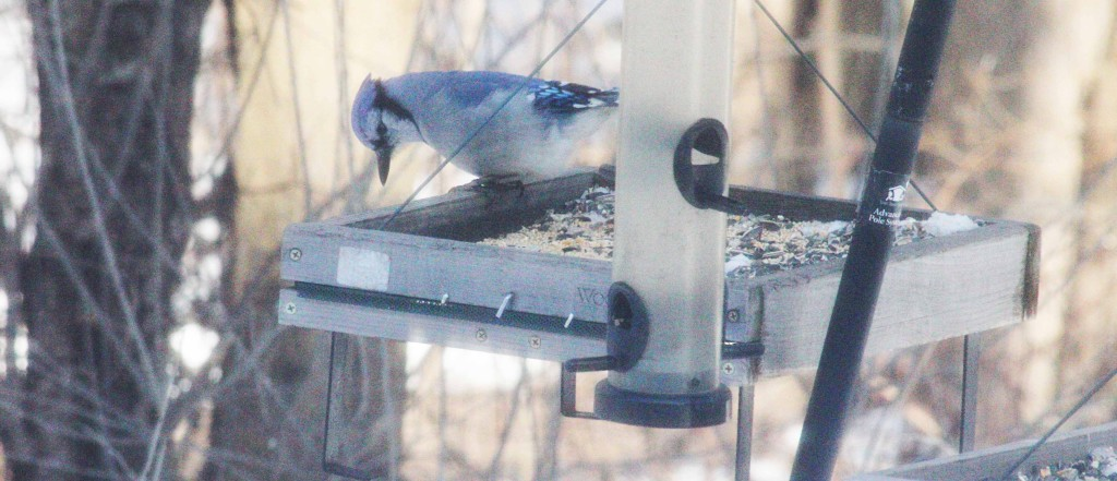 Bluejay brought his mate.