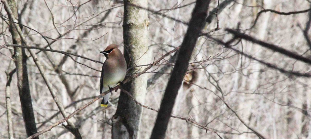 Cedar Waxwing. Is this not a stunning bird?