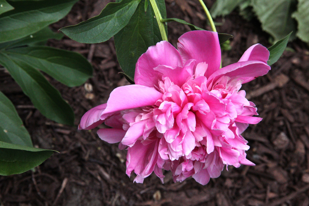 First of the back peonies.