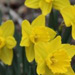 daffodilsintheyard
